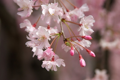 sakura flor de cerezo japon unajaponesaenjapon.com