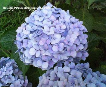 hortensia-ajisai-temporada de lluvias-japon-unajaponesaenjapon.com