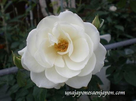 rosa blanca unajaponesaenjapon.com