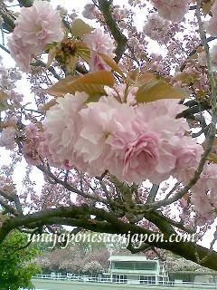 sakura-flor de cerezo-japon-unajaponesaenjapon.com