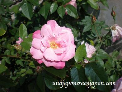 rosa japon unajaponesaenjapon.com
