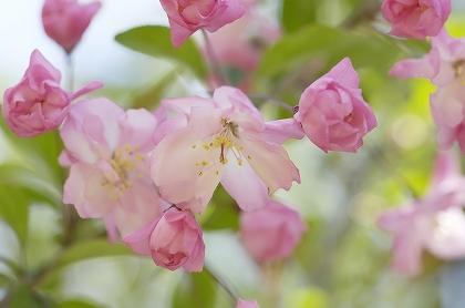 sakura flor de cerezo norapedia unajaponesaenjapon.com