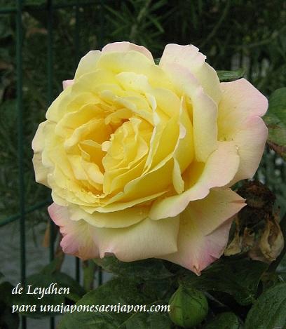rosa de la amistad leydhen unajaponesaenjapon.com