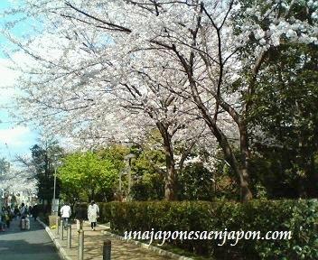 sakura flor de cerezo tokyo japon unajaponesaenjapon.com