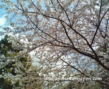 sakura flor de cerezo tokyo japon1 unajaponesaenjapon.com