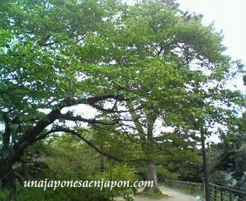 hazakura hojas arbol de sakura japon unajaponesaenjapon.com