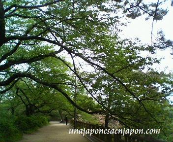 hazakura hojas arbol de sakura japon1 unajaponesaenjapon.com