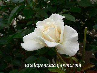 rosa unajaponesaenjapon.com