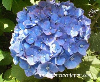 hortensia ajisai epoca de lluvias japon1 unajaponesaenjapon.com