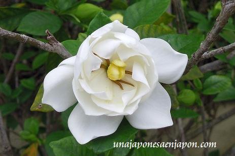 jazmin kuchinashi unajaponesaenjapon.com