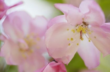 sakura flor de cerezo por ser japonesa unajaponesaenjapon.com