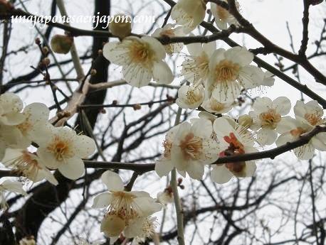 festival de los ciruelos ume matsuri tokyo japon
