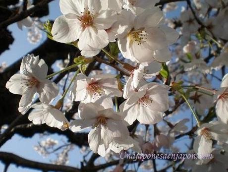 sakura japon