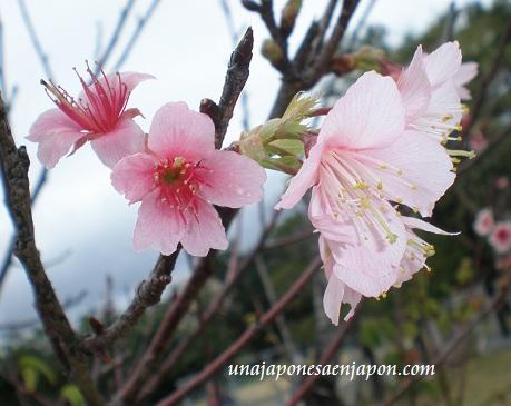 sakura de invierno-okinawa-japon