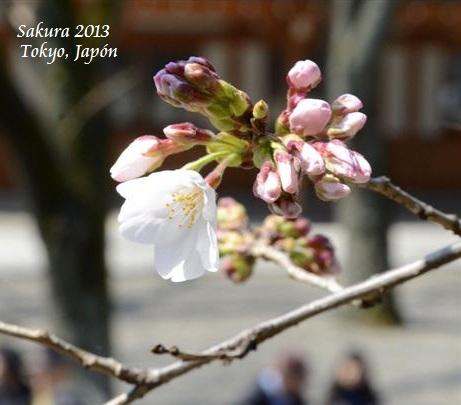 sakura-tokyo-japon-16-marzo-2013