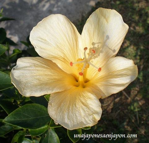 hibisco flor okinawa japon