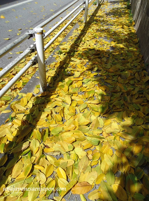 otoño hojas okinawa japon