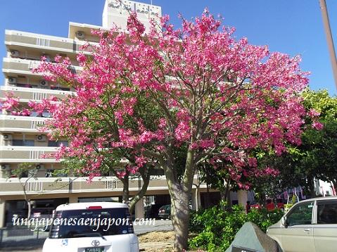 sakura de brasil palo borracho flor okinawa japon 1