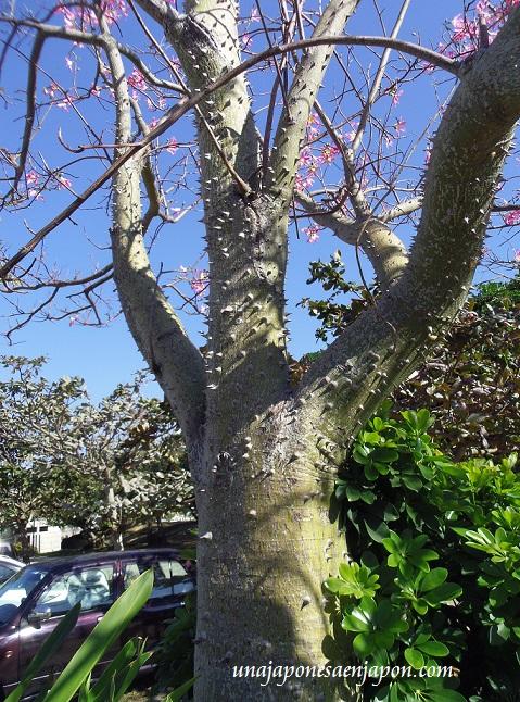 sakura de brasil palo borracho flor okinawa japon 11