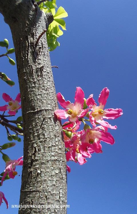 sakura de brasil palo borracho flor okinawa japon 14