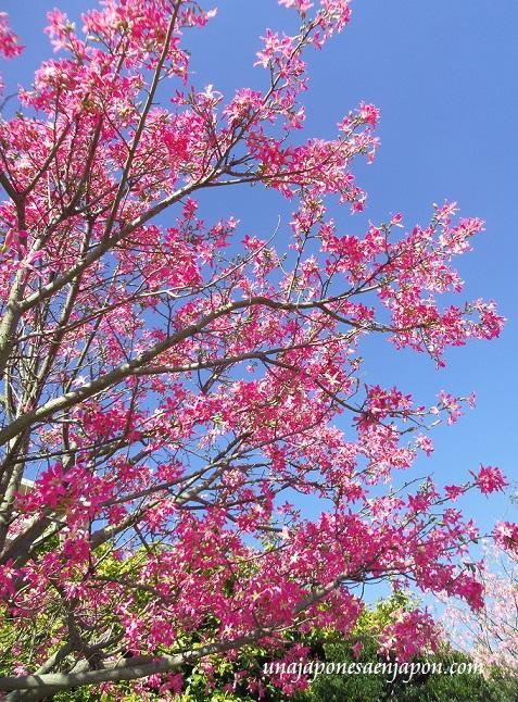 sakura de brasil palo borracho flor okinawa japon 2