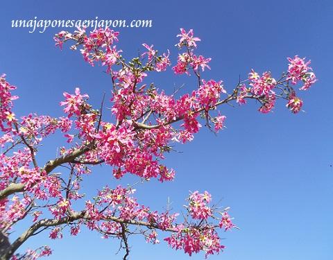 sakura de brasil palo borracho flor okinawa japon 4
