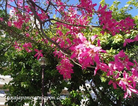 sakura de brasil palo borracho flor okinawa japon 5