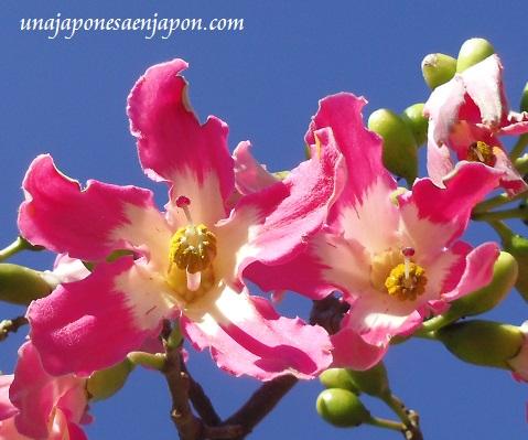 sakura de brasil palo borracho flor okinawa japon 6