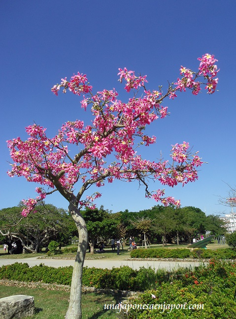 sakura de brasil palo borracho flor okinawa japon 7