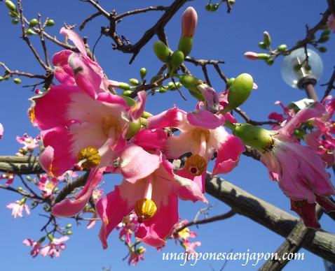 sakura de brasil palo borracho flor okinawa japon 8
