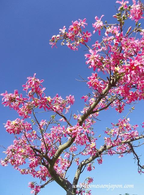 sakura de brasil palo borracho flor okinawa japon 9