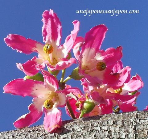 sakura de brasil palo borracho flor okinawa japon