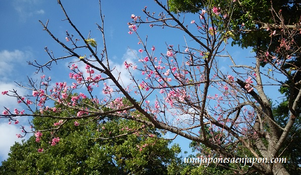 sakura-flores-cerezo-okinawa-japon
