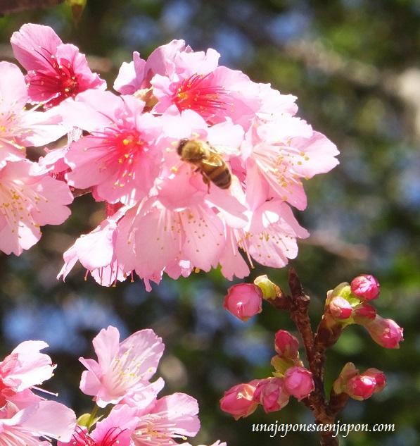sakura flores cerezo okinawa japon 10