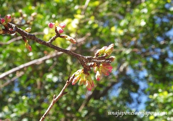 sakura flores cerezo okinawa japon 11