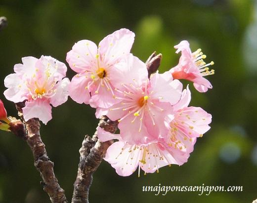 sakura flores cerezo okinawa japon 12