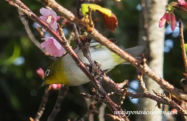 sakura flores cerezo okinawa japon 13