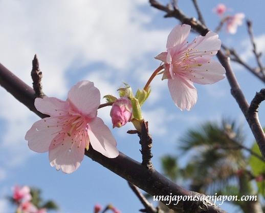 sakura flores cerezo okinawa japon 15
