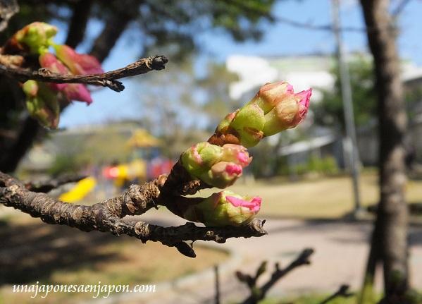 sakura flores cerezo okinawa japon 16