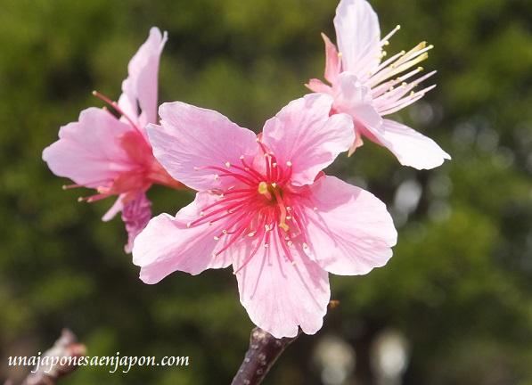 sakura flores cerezo okinawa japon 17