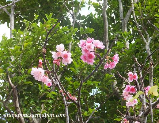 sakura flores cerezo okinawa japon 2