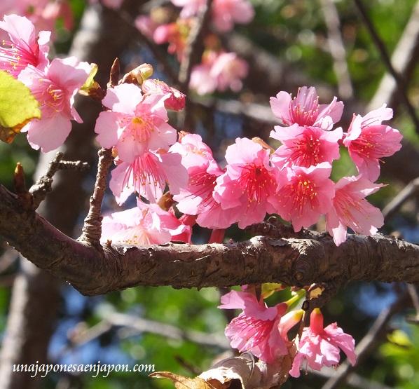 sakura flores cerezo okinawa japon 3