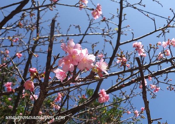 sakura flores cerezo okinawa japon 4