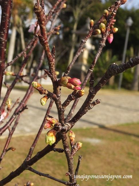 sakura flores cerezo okinawa japon 5