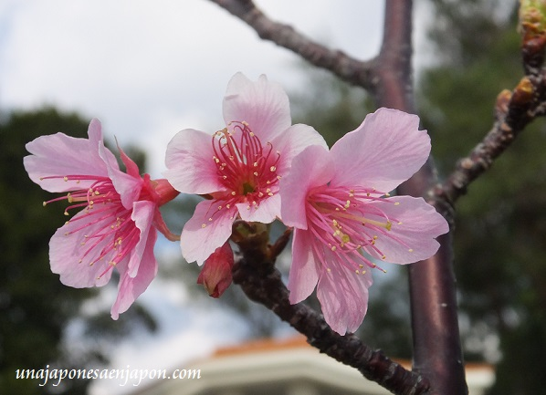 sakura flores cerezo okinawa japon 6