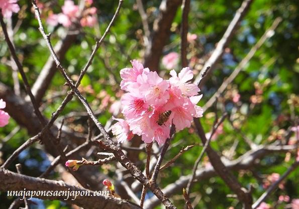 sakura flores cerezo okinawa japon 7