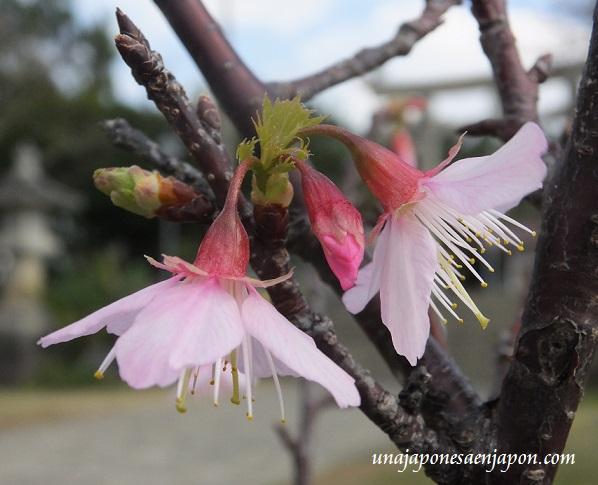sakura flores cerezo okinawa japon 8