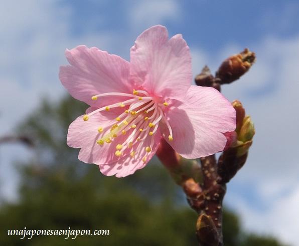 sakura flores cerezo okinawa japon