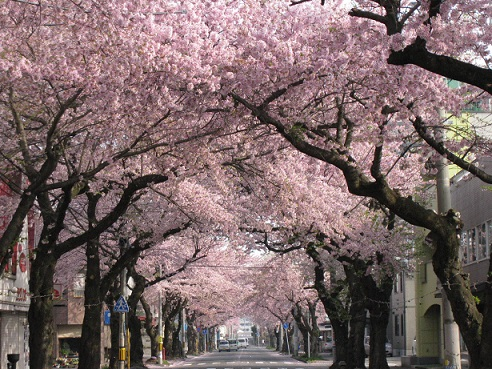 dia del sakura 27 de marzo japon