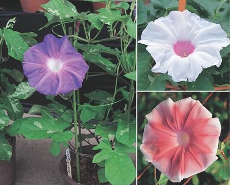 asagao flor de julio japon